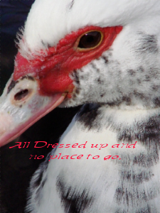Muscovy cls resize stamp size w all dressed up