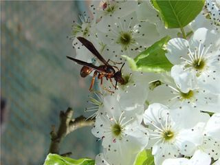Wasp on the pear blossom good scaled for web